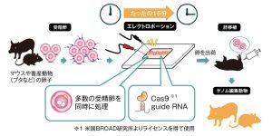ゲノム編集受精卵作製サービスの流れ