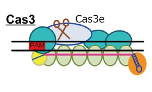 Cas3(class1,typeI-E)