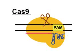 Cas9(class2,type-II)